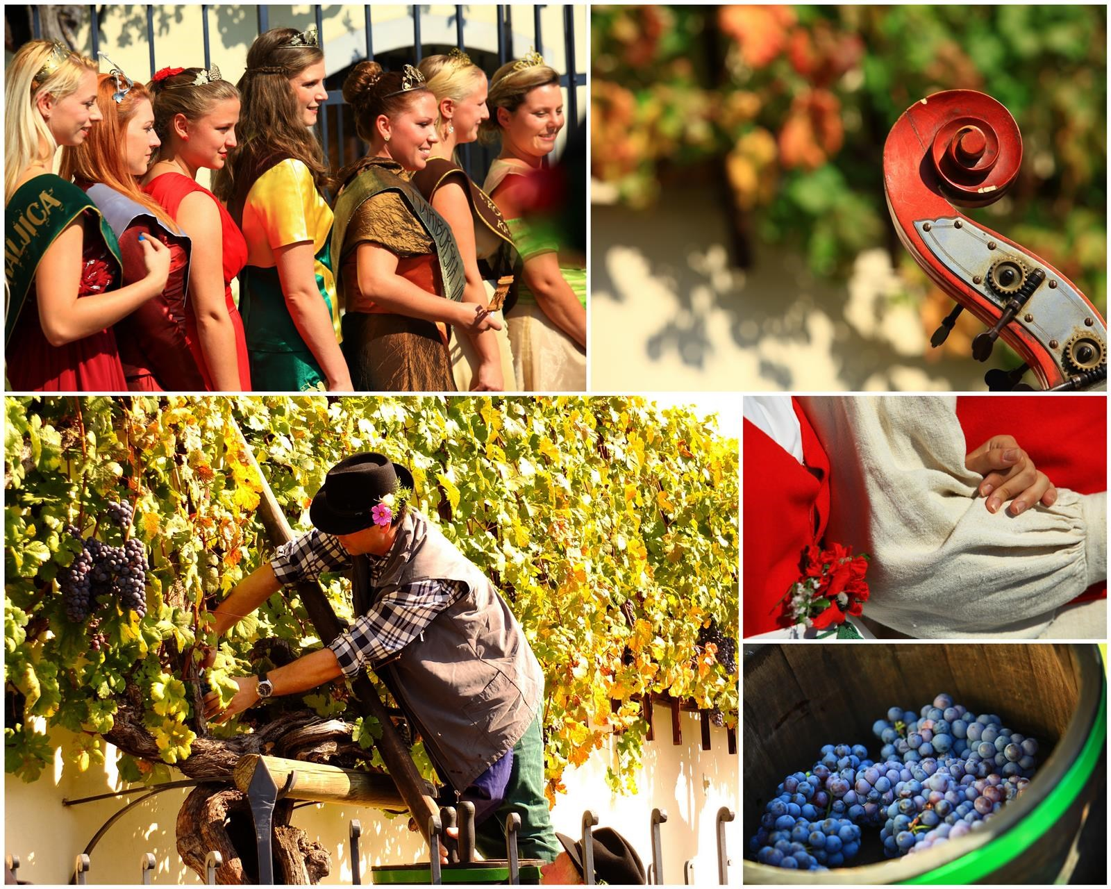 The ceremonious grape harvest of the oldest vine in the world