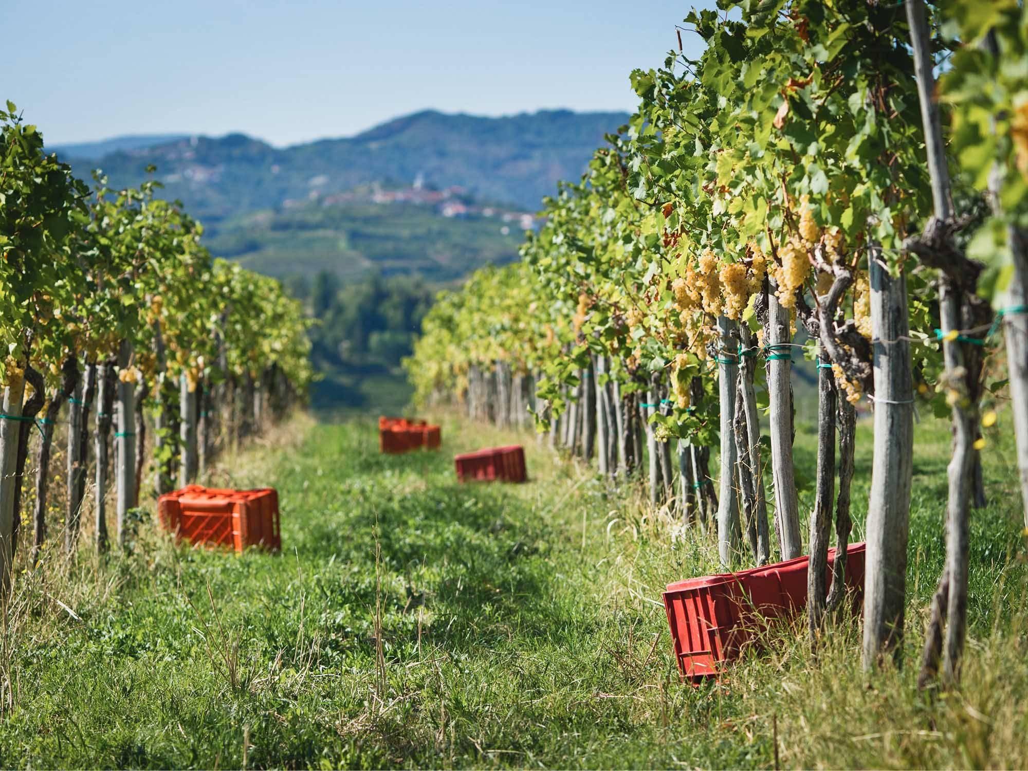 Ko v kozarcu rebule spregovori vinograd