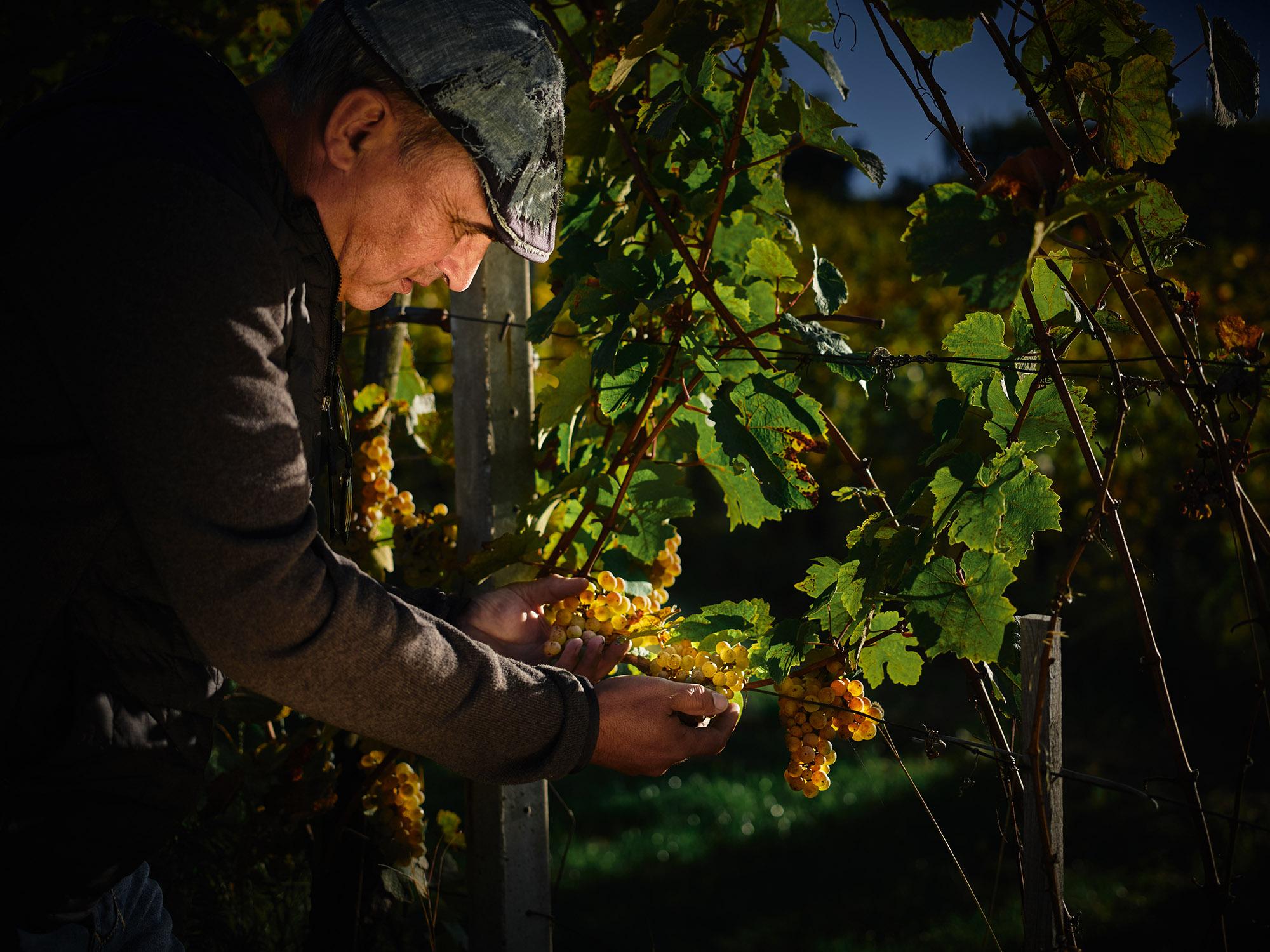 obiranje grozdja
