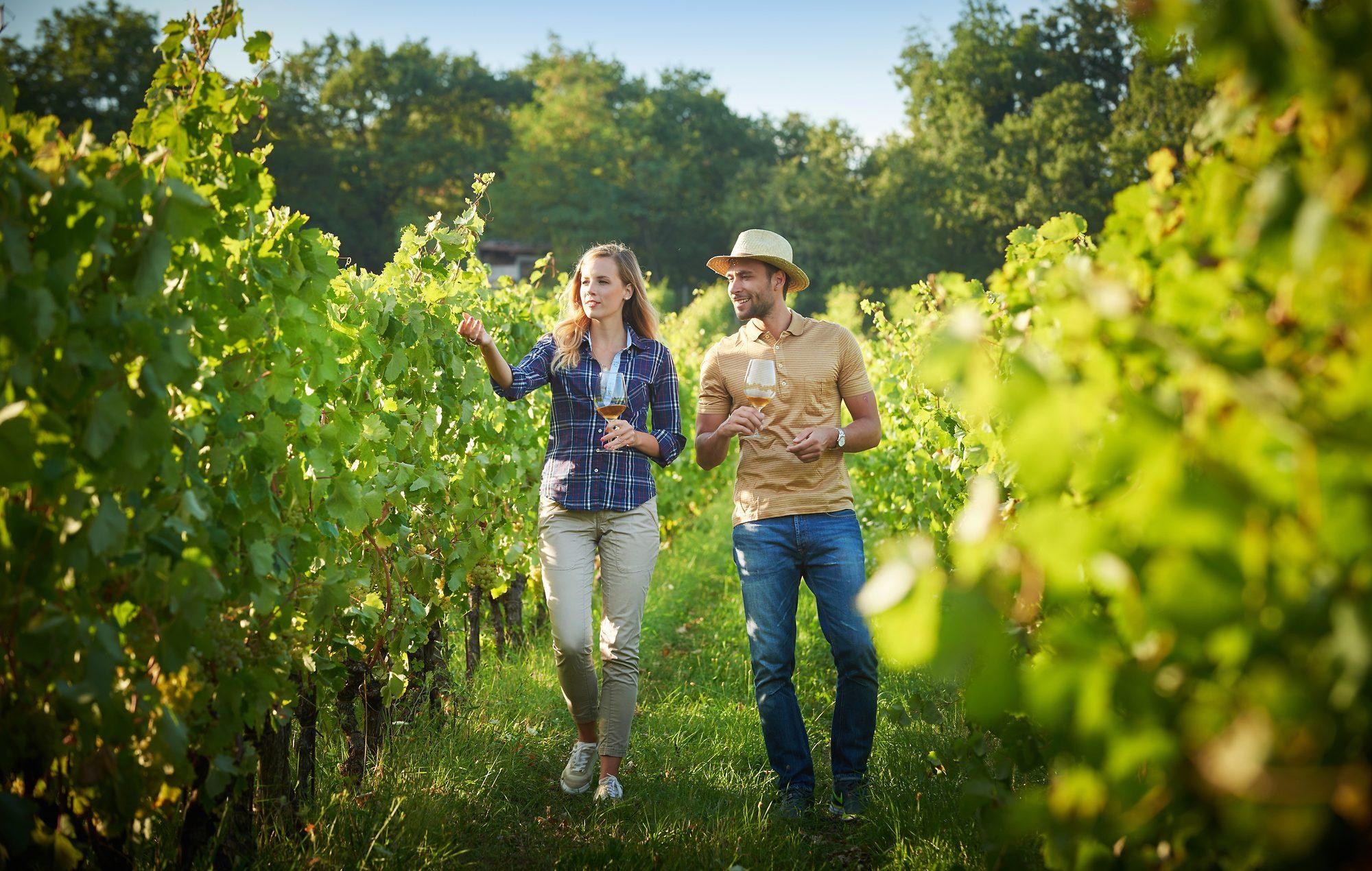 vipavski vinogradi